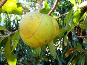 Chalta (Elephant apple). Image Source: Fruitpedia