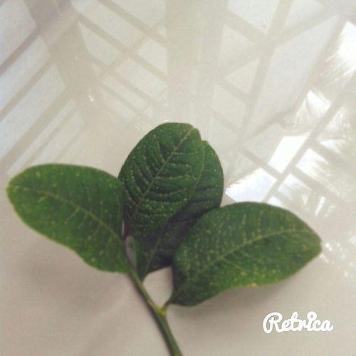 Gondhoraj leaves (lebu pata). Photo courtesy: Neha Banerjee