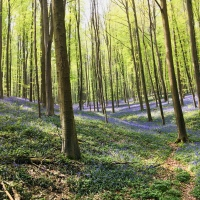 Hallerbos - The Valley of Bluebells